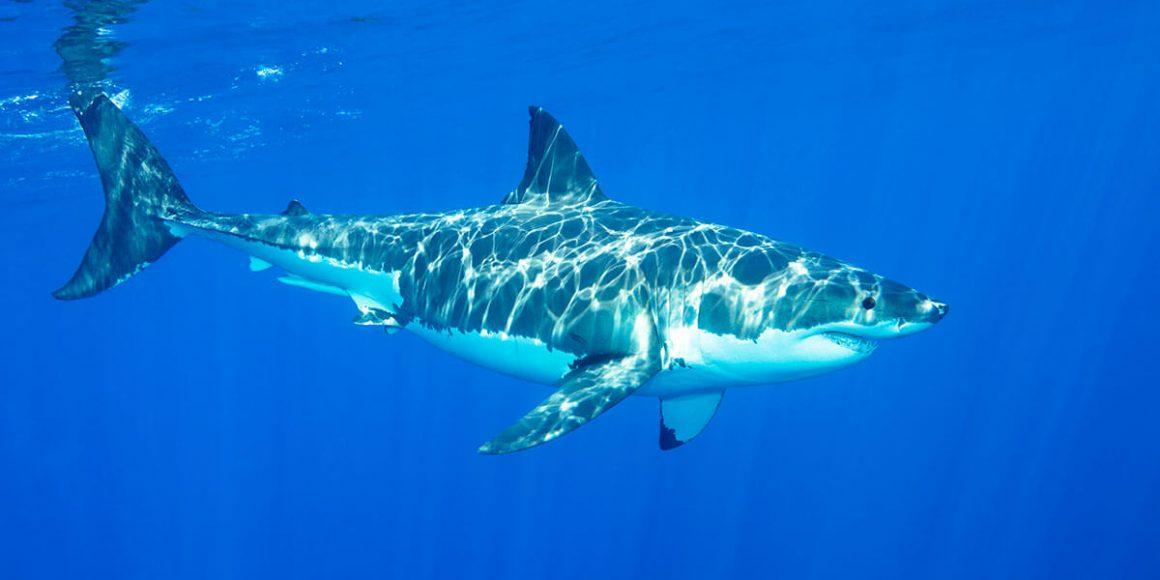 Top Dive Tauchen mit Haien