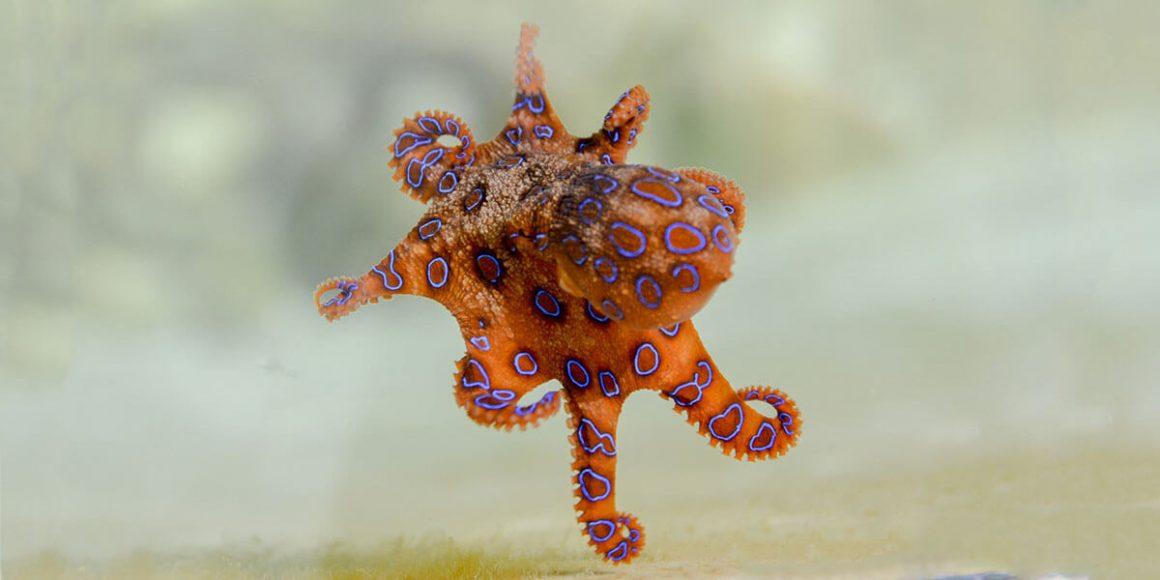 Top Dive Magazin Tierische Gefahren beim Tauchen Blauring-Octopus