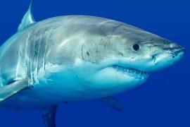 Top Dive Magazin Tierische Gefahren beim Tauchen Hai