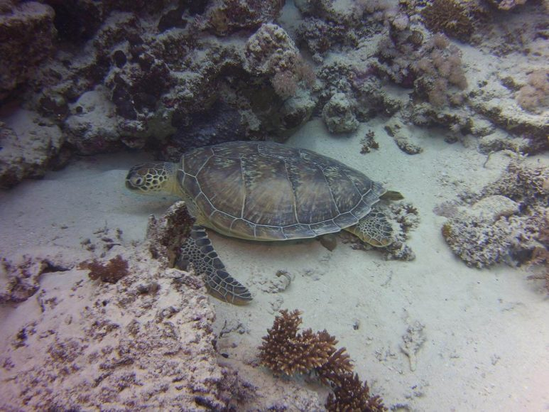 © Friedemann Schmidt, Schildkröte-reef